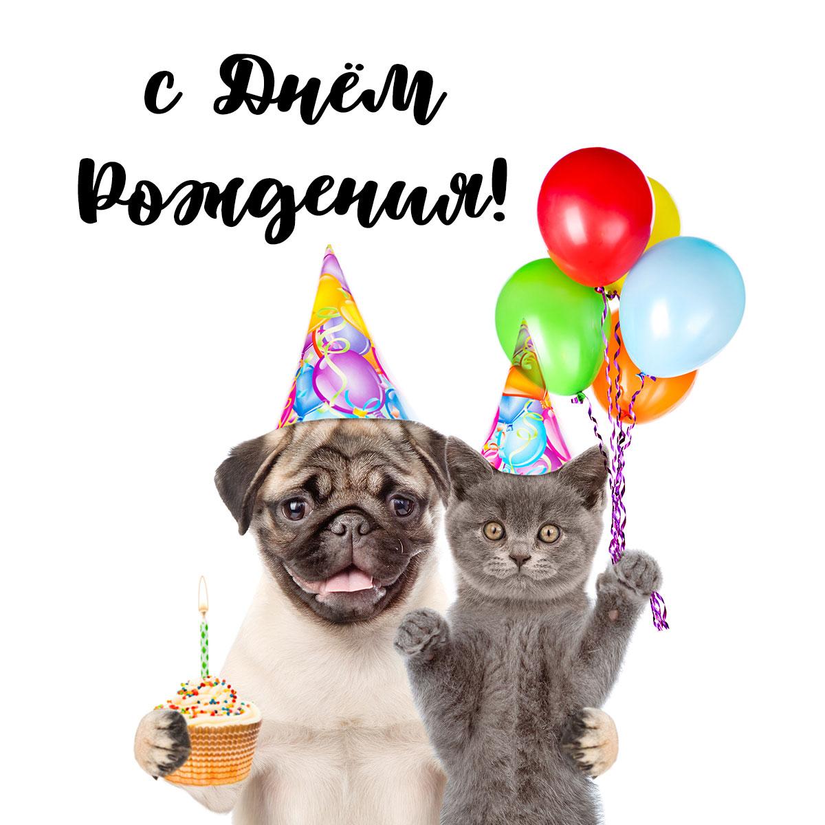Фотография смешная открытка с днем рождения: вечеринка кота и мопса в праздничных шляпах с воздушными шарами и кексом.