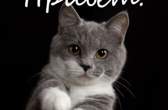 Фото с надписью привет с серо - белой британской кошкой, тянущей лапу на чёрном фоне.