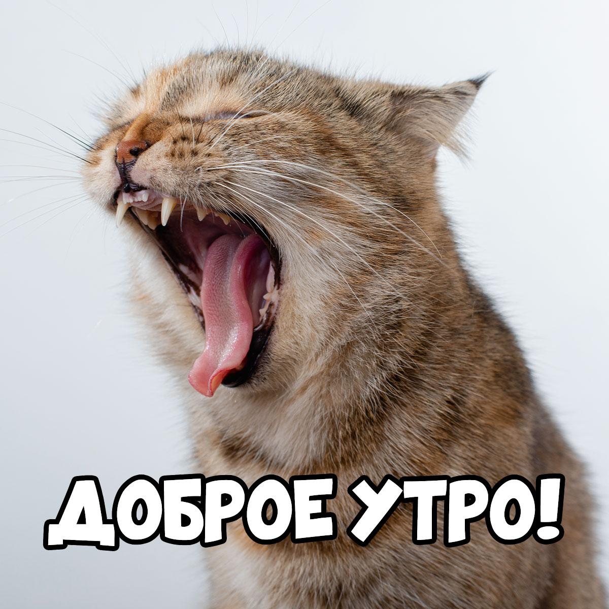 Фотография с подписью доброе утро зевающий кот с коричневой шерстью.