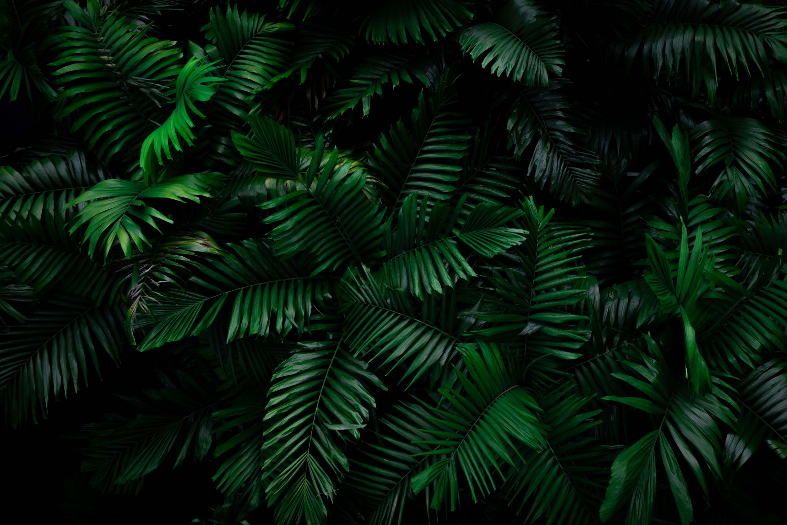 Фотография тёмно-зелёных пальмовых листьев.