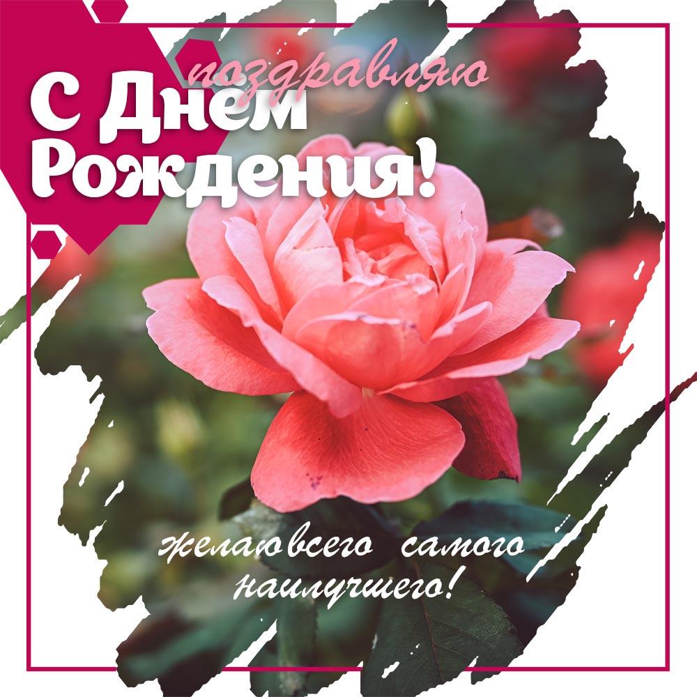 Красивое фото цветок чайной розы и текст поздравления с днём рождения женщине.